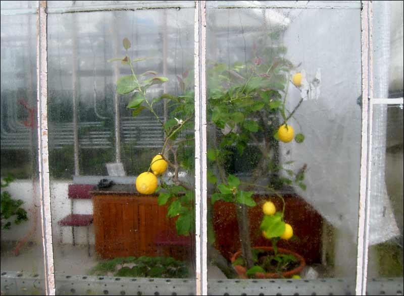 cytryny, pokój, ogród botaniczny, krople