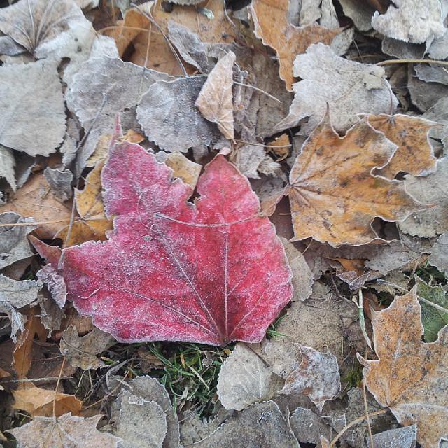 jesień, jesienne liście. czerwone, brązowe.