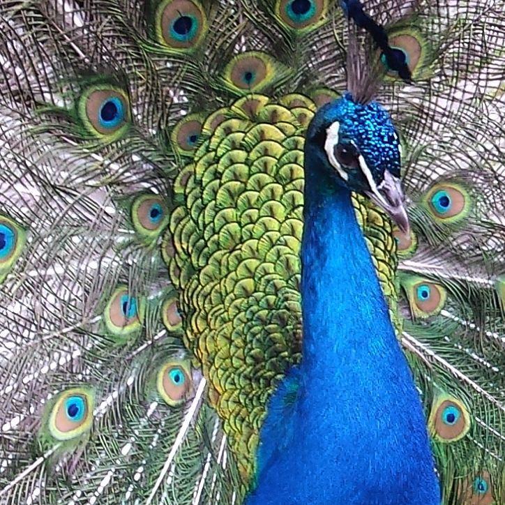 #paw #minizoo #jantar #mierzeja #mierzejawislana #peacock #peacocks