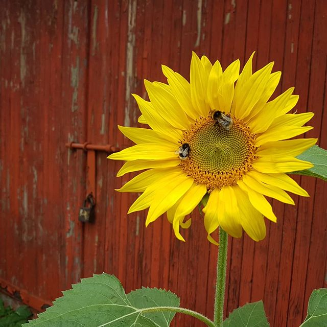 #zapylamy #kwiaty #flowers #yellow #żółty #pszczoły #beez