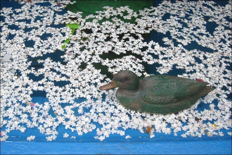 kaczka, staw, kwiatki, płatki