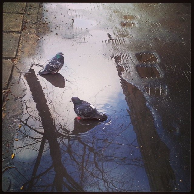 kałuża, gołębie